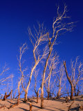 Dead Trees in Sand Dunes at Sunrise, Croajingolong National Park, Victoria, Australia Photographic Print by Grant Dixon