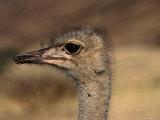 Ostrich's Head, Central Highland, Namibia Photographic Print by Manfred Gottschalk