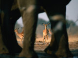 Imapalas Viewed Through an Elephant&#39;s Legs, Savuti, Botswana Photographic Print by Dennis Jones