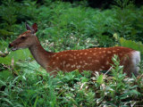 Deer Standing in Thick Undergrowth, Shiretoko National Park, Japan Photographic Print by Martin Moos
