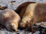 Three Sleeping Sea Lions (Neophoca Cinere)On South Coast Beach, Kangaroo Island, Australia Photographic Print by Barnett Ross