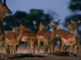 Impala (Aepyceros Melampus) Herd, Savuti, Botswana Photographic Print by Dennis Jones