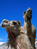 Camels for Hire at Stockton Sand Dunes, Newcastle, New South Wales, Australia Photographic Print by Dallas Stribley
