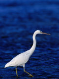 Eastern Reef Heron Stalking Fish, Great Barrier Reef, Australia Photographic Print by Dennis Jones