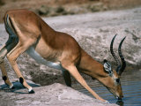 Impala (Aepyceros Melampus) Bull Drinking, Savuti, Botswana Photographic Print by Dennis Jones
