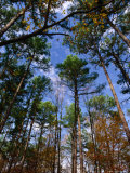 Looking Skywards Through Trees, Shawnee State Forest, USA Photographic Print by Charles Cook