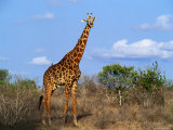 Giraffe Tsavo West National Park, Kenya Photographic Print by John Hay