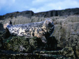 Atlantic Grey Seal (Halichoerus Grypus) on Rocks, Farne Islands, United Kingdom Photographic Print by Nicholas Reuss
