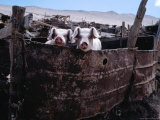 Pigs Looking Out of Pen, Ilave, Puno, Peru Fotografie-Druck von Eric Wheater