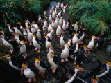 Royal Penguins Crossing Nuggets Creek to Access Rookery, Macquarie Island, Antarctica Photographic Print by Grant Dixon