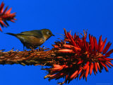 Silvereye Bird Perched on a Red Hot Poker Plant, Leigh, New Zealand Photographic Print by Jenny & Tony Enderby