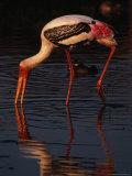 Painted Stork (Ibis Leucocephalus), Sri Lanka Reprodukcja zdjęcia autor Lawrence Worcester