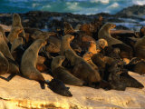 Pod of Cape Fur Seals (Arctocephalus Pusillus) Basking on Rocks in the Sunlight, South Africa Photographic Print by Ariadne Van Zandbergen