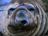 Close-Up of Homer the Southern Elephant Seal (Mirounga Leonina), Gisborne, New Zealand Photographic Print by Jenny & Tony Enderby