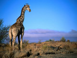 Giraffe Looking Over Its Shoulder, Augrabies Falls National Park, Northern Cape, South Africa Fotografiskt tryck av Ariadne Van Zandbergen