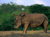 White Rhinoceros (Ceratotheruefn Semum), Hluhluwe-Umfolozi Park, South Africa Photographic Print by Ariadne Van Zandbergen