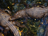 Crocodiles at the Bangkok Zoo, Bangkok, Thailand Photographic Print by Ryan Fox
