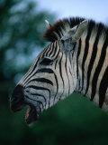 Portrait of Common Zebra (Equus Quagga), Hluhluwe-Umfolozi Park, South Africa Fotodruck von Ariadne Van Zandbergen