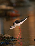 Female Black-Winged Stilt (Himantopus Himantopus), India Photographic Print by David Tipling
