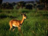 Oribi (Ourebia Ourebi) Standing in Grass, Murchison Falls National Park, Uganda Photographic Print by Ariadne Van Zandbergen
