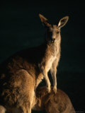 Kangaroo at Night, Anglesea, Australia Photographic Print by John Banagan