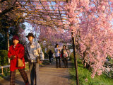 People Walking Under Roof of Pink Cherry Blossoms, Kyoto, Japan Photographie par Frank Carter