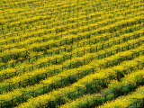 Field of Grapevines at Beckstoffer Vineyards, Napa Valley, California, USA Photographic Print by Oliver Strewe