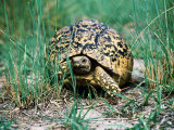 Tortoise Crawling Through Grass, Okavango Delta, Botswana Photographic Print by Peter Ptschelinzew