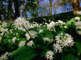 Ramsons (Wild Garlic) at Stackpole Estate in May, Pembrokeshire Coast National Park, United Kingdom Photographie par David Tipling