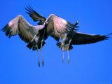 Demoiselle Cranes (Anthropoides Virgo) Landing Near Khichan, India Photographic Print by David Tipling
