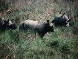 Asian One-Horned Rhinoceros (Rhinoceros Unicornis), Royal Chitwan National Park, Nepal Photographic Print by Kraig Lieb