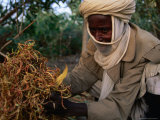 Man from Maradi Showing Australian Acacia Seeds Used for Food, Maradi, Niger Photographic Print by Oliver Strewe