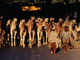 Camels Travelling from Rajasthan to West Bengal on Grand Trunk Road, Uttar Pradesh, India Fotografie-Druck von Richard I&#39;Anson