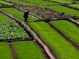 Cabbage Crop and Rice Paddies Near Kunming, Kunming, Yunnan, China Photographic Print by Diana Mayfield