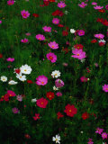 Cosmos Flowers in Bloom, Tono, Tohoku, Japan, Photographic Print by Richard I'Anson