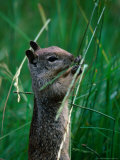 California Ground Squirrel (Spermophilus Beecheyi) in Grasslands, Yosemite National Park, CA, USA Photographic Print by David Tomlinson