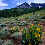 Field of Arrowleaf Balsom Root Plants with Mt. Parker Behind, USA Photographic Print by Wes Walker