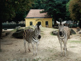 A Pair of Zebras Standing in Front of a Typical Yellow Maria-Theresa Animal House, Vienna, Austria Photographic Print by Diana Mayfield