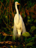 Great White Egret (Casmerodius Albus) in Breeding Plumage, India Photographic Print by David Tipling