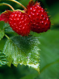 Detail of Salmon Berries, Olympic National Park, USA Photographic Print by Nicholas Pavloff