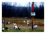 James Edwards Photography Art Goats Landscapes Photographic Print by J Edwards