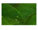 Rain On The Leaves 1 Photographic Print by Paul Huchton