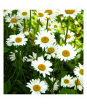 Glorious Daisies Photographic Print by Stephanie Kellerman