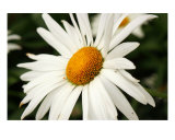 My Daisy Photographic Print by Brandy Brink
