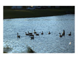 Geese On The Water Photographic Print by Mark Banks-golub
