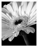 0001 Gerber Daisy Flower Fotografie-Druck von V Lausen