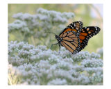 Butterfly Dance Photographic Print by Beverly Turner