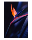 Bird Of Paradise Photographic Print by Keith Skelton