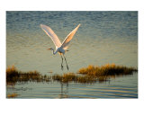 Heron Liftoff Photographic Print by Frank Tozier