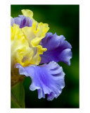 Curly Blue And Yellow Iris Photographic Print by Frank Tozier